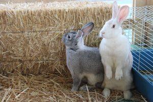 conejos florentina y tambor