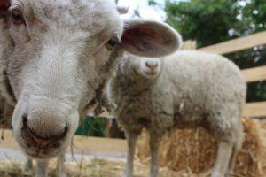 ovejas diana y cecilia