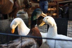 patos hugo paco y luis
