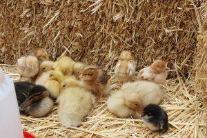 pollitos pollos