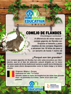 conejo de flandes mini granja educativa