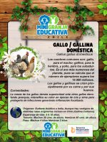 pollo gallo gallina doméstica mini granja educativa